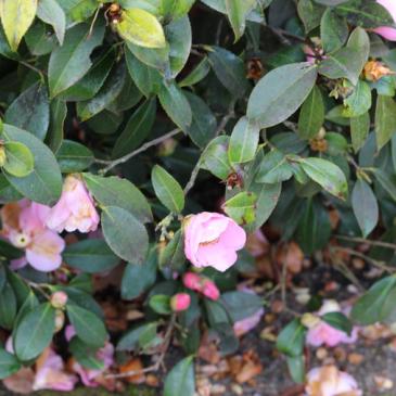 Parc floral de la Beaujoire : la Roseraie